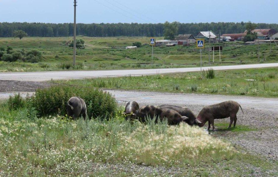 Генпрокуратура проверит сообщения СМИ овыпасе свиней намемориале вЧелябинской области