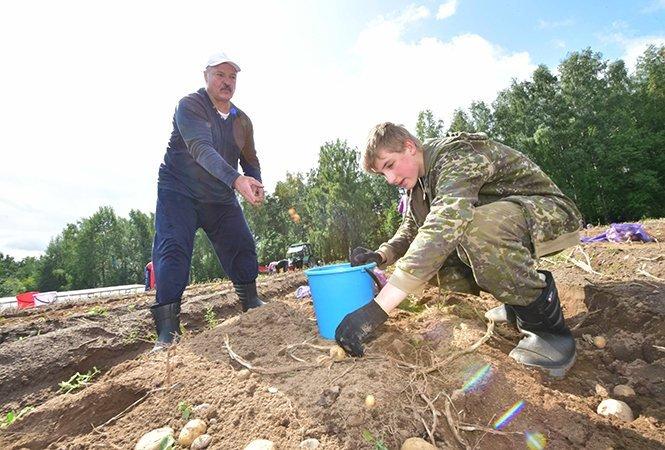 Лукашенко з сином викопали 105 тонн картоплі, є фото