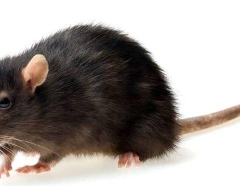 В Барселоне устроили «перепись» крыс, живущих в канализации
