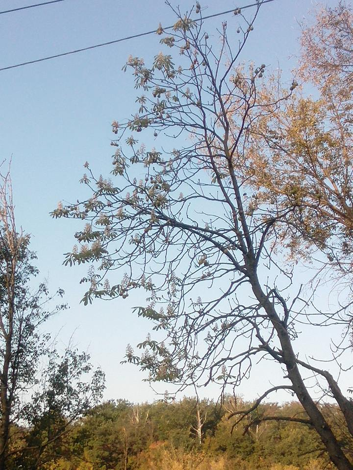 Украинцев поразило цветение каштанов в сентябре (фото)