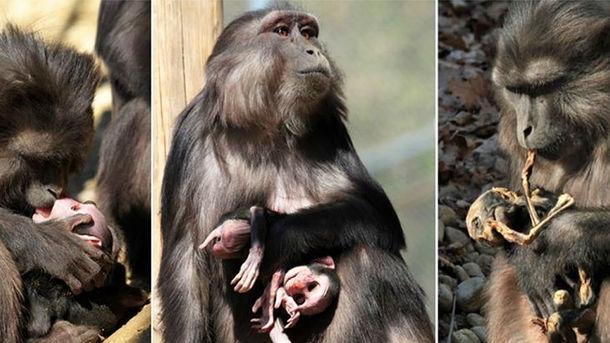 Вчені вперше знайшли мавп-канібалів (фото)