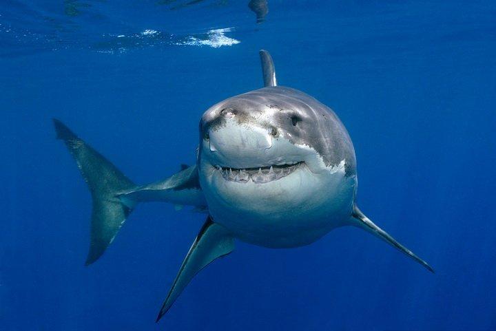 Вчені пояснили, чому акули не хворіють раком