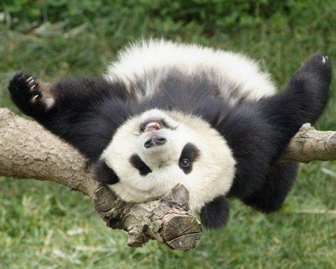 Працівники японського зоопарку опублікували зворушливі фото панденяти