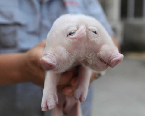 свинья, мутант