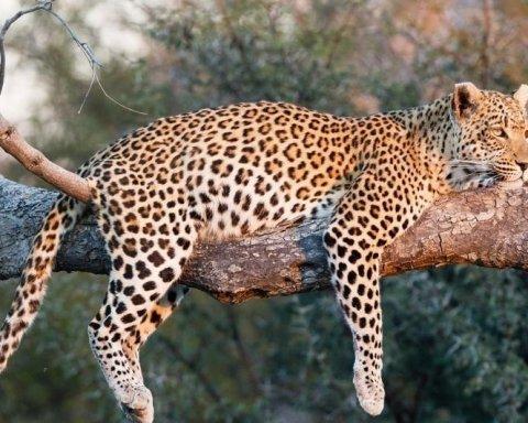 Леопарда на индийском заводе ловили фейерверками и козами (видео)