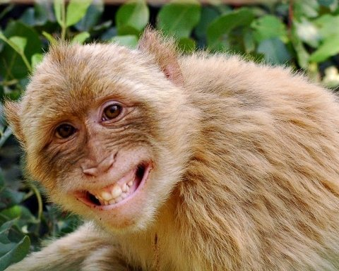 Чому не можна їсти мавпяче м'ясо