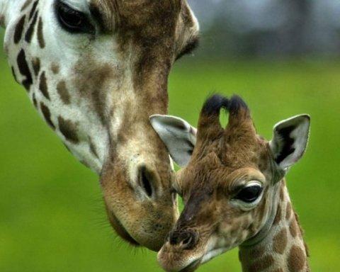 Киян розчулило новонароджене дитинча жирафа