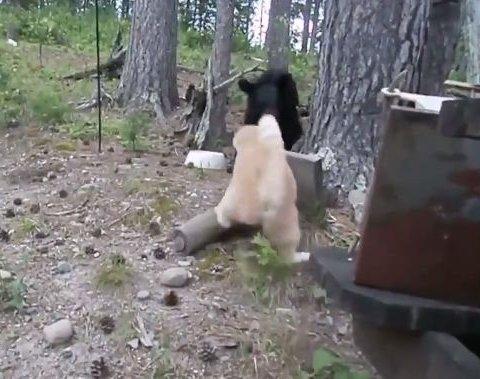 Жахливий звір: кіт загнав ведмедя на дерево (відео)