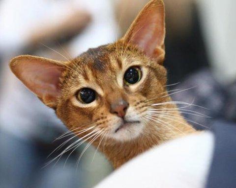 На крупнейшей в Украине выставке кошек представили более тысячи пушистиков (фото)