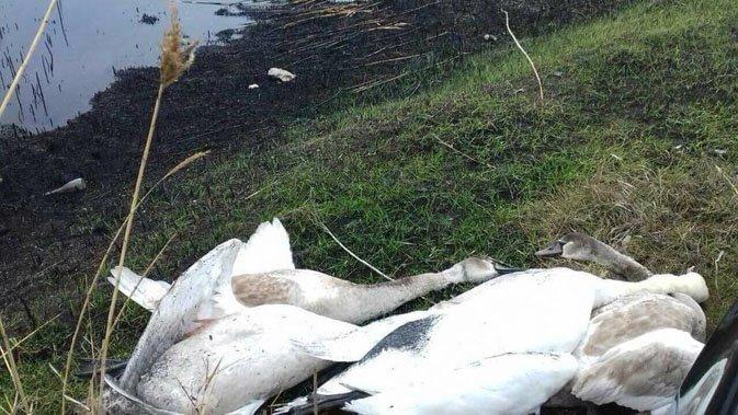 Українці лютують: відомий чиновник розстріляв лебедів
