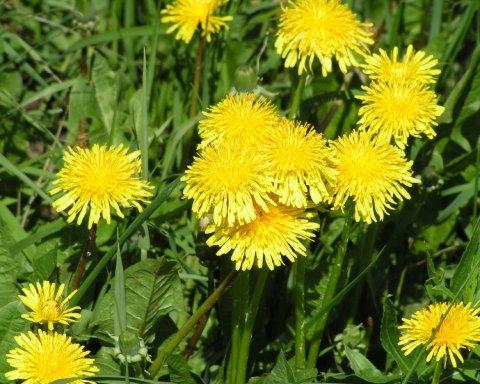 Теперь одуванчики: украинцев поражают цветущие зимой цветы