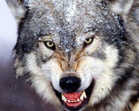 Моторошний випадок: вовк напав і сильно покусав жінку на Рівненщині