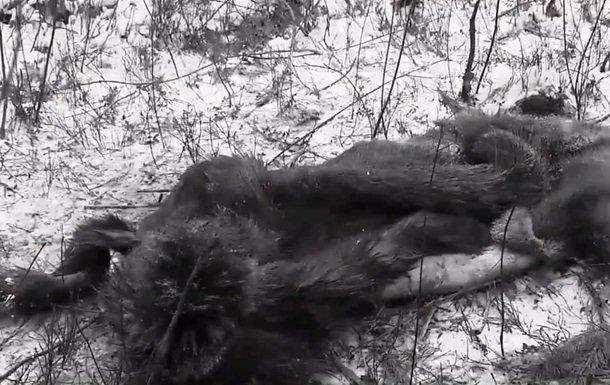 НаКиевщине браконьеры убили беременную лосиху
