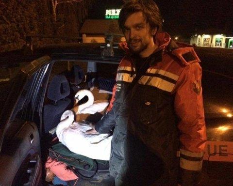 На Киевщине от гибели спасли двух обессиленных лебедей (фото)