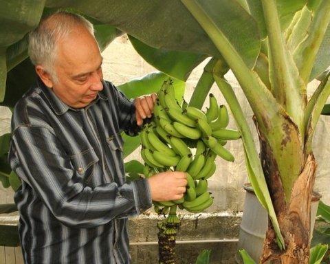 Самый большой в мире: украинец вырастил ананас-гигант