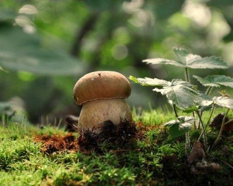 Альтернатива мясу: чем полезны и опасны грибы