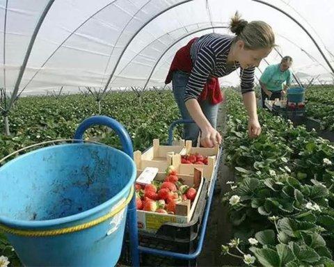 Некому будет собирать урожай: в Польше началась паника из-за отсутствия украинских заробитчан