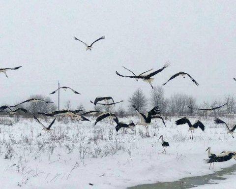 Как украинцы спасают аистов от голодной смерти: соцсетями распространяется инструкция