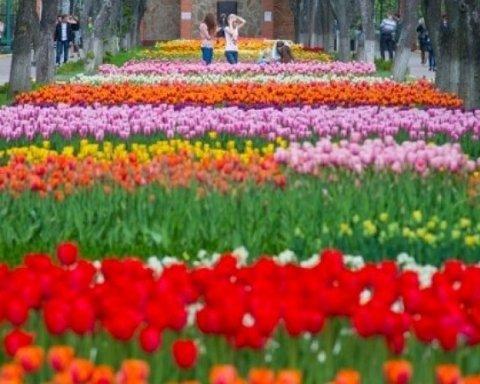 У Кропивницькому з'явився тюльпановий рай