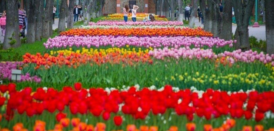 У Кропивницком появился тюльпановый рай