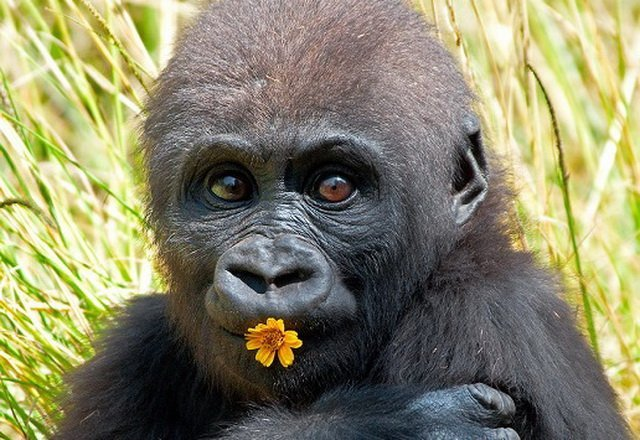 У мережі показали унікальні кадри народження рідкісної горили