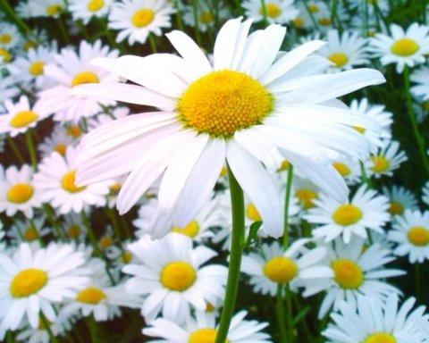 Назвали рослину, яка рятує від десятка хвороб