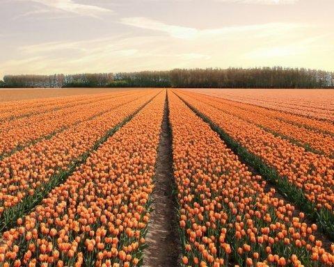 Сім мільйонів бутонів: як виглядає тюльпановий рай (фото)