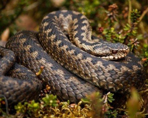 В лісах Київщини фіксують засилля змій