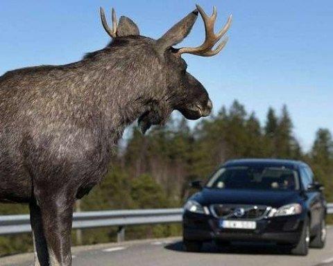 Жуткое ДТП на трассе: лось убил пенсионерку
