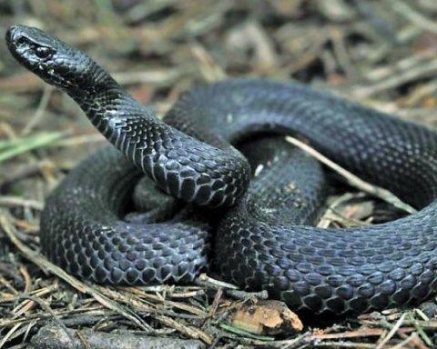 Отруйні змії атакували вже чотирьох осіб через погоду