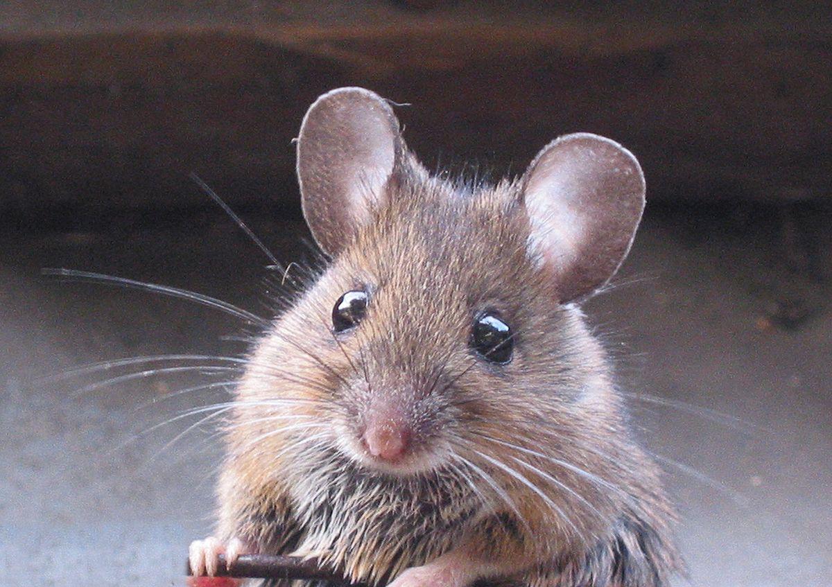 В Индии мыши в банкомате погрызли более миллиона рупий