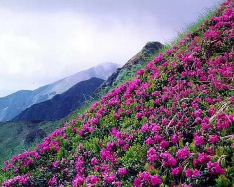 В Карпатах зацвел цветок любви: яркие кадры