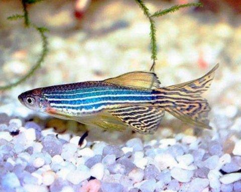 Рибка даніо виявилася власницею фантастично здібних очей
