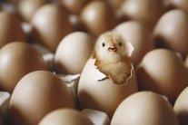 Тисячі курчат неочікувано вилупилися з викинутих яєць
