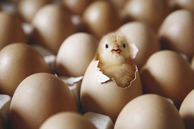Тысячи цыплят неожиданно вылупились из выброшенных яиц