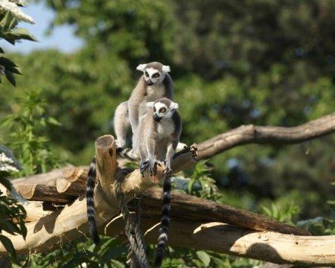 Зграя мавп втекла із зоопарку і оселилася на дачі під Одесою