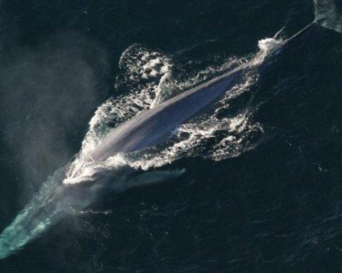 Китобійна компанія вбила рідкісного кита