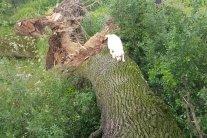 Штормове попередження: Буревій на Прикарпатті повалив багатовікові дуби