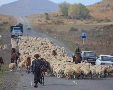 Наглый водитель сбил пастуха и 57 овец
