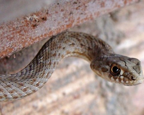 Приползла и уснула: в Николаеве женщина нашла змею в собственной квартире