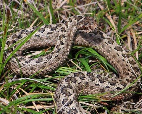 Якщо вкусила змія: що треба робити, щоб врятувати своє життя