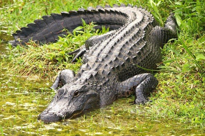 В США отца с сыном чуть не съеил аллигаторы