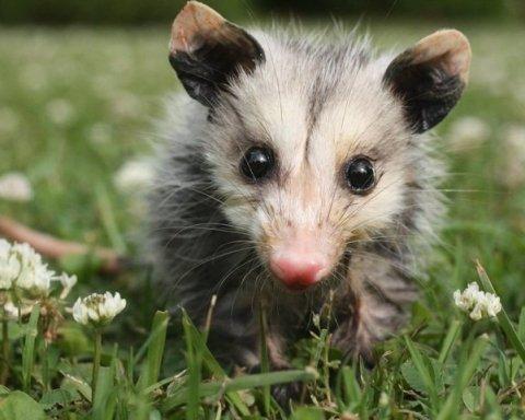 Австралійці врятували опосума, який застряг головою в банці