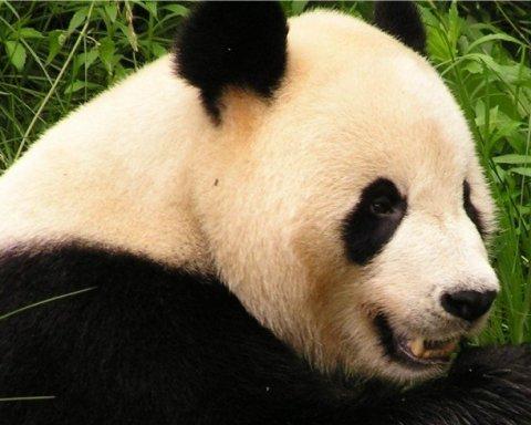 У Китайському зоопарку на світ з'явилися унікальні панди