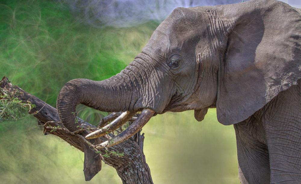 Французький фермер приховував слона 4 роки: подробиці