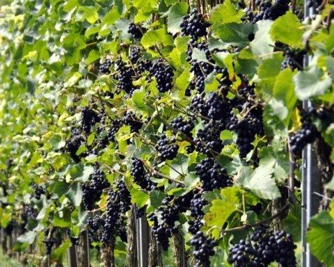 Назван главный поставщик вина в Украину