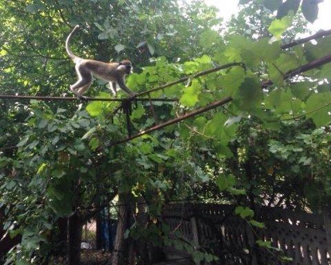 Обезьяны-беглецы на Одесщине продолжают терроризировать жителей