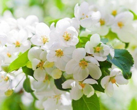В Україні знову зацвіли фруктові дерева, з'явилися яскраві кадри
