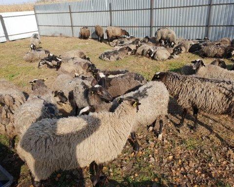 «Фура смерти» с овцами: в каких областях Украины могут объявить карантин