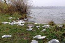 В Тернополе зафиксировали странную массовую смерть: на берегу нашли сотни трупов